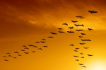 flock of migrating canada geese birds