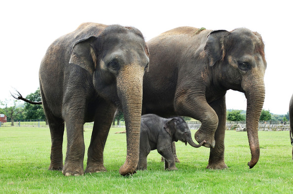 [Image: asian-elephants.jpg]