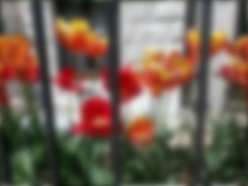 blurry tulips in jail