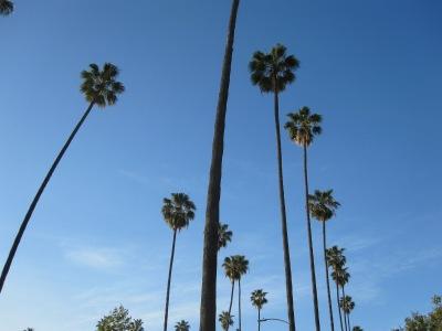 palm trees LA